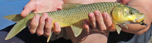 karoo-smallmouth-yellowfish